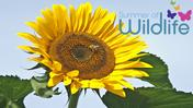 SOW-sunflower_7a397238.jpg
